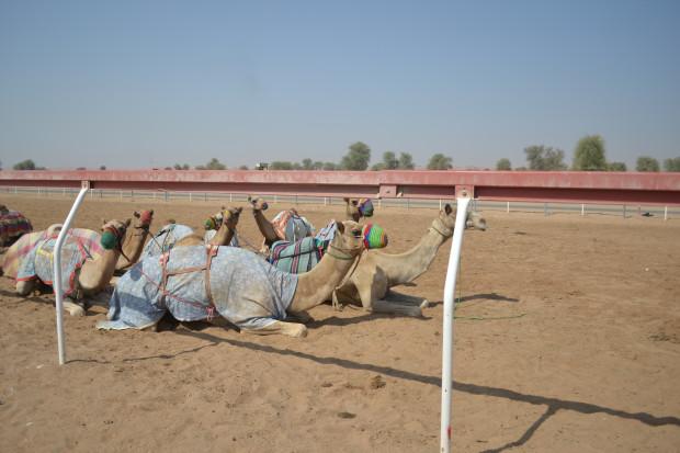 Ras Al Khaimah Camel Track