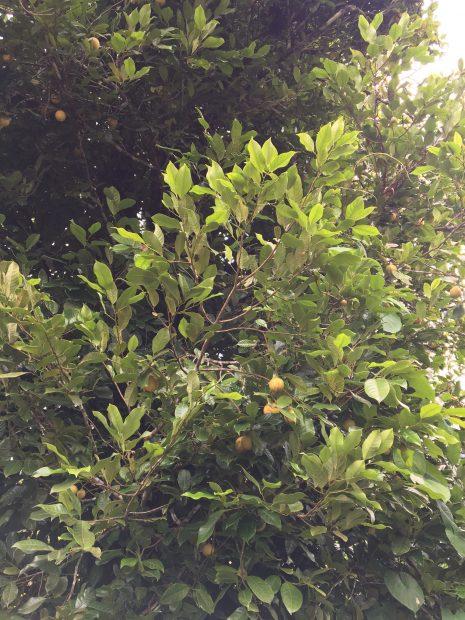 Nutmeg growing on Grenada